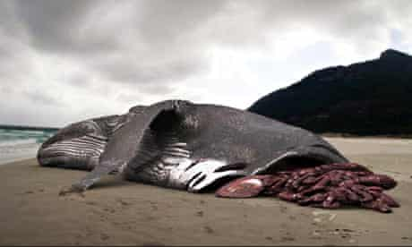 Did Discovery Channel Fake The Image In Its Giant Shark Documentary Marine Life The Guardian