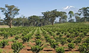 MDG : Agriculture in Africa : Young coffee trees near Kilimanjaro, Tanzania