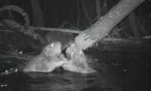 Beavers in River Otter, Devon