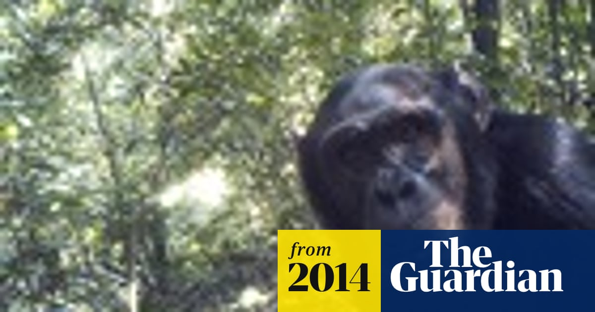 Huge chimpanzee population thriving in remote Congo forest