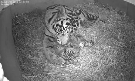 Five-year-old Sumatran tigress Melati triplets at London Zoo