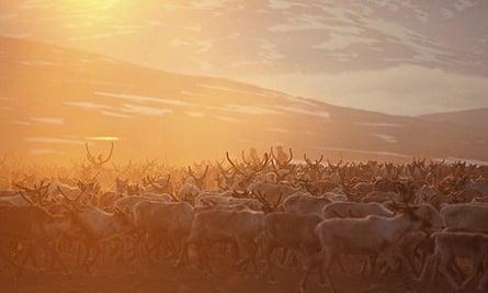 Sami reindeer, Salvasskardet, Troms County,  Bardu, Norway