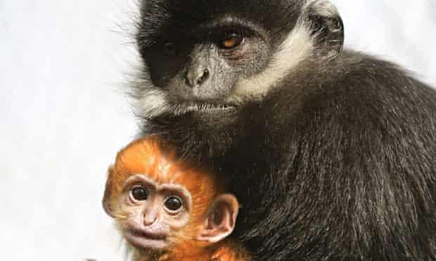 Francois Langur baby at Howletts Wild Animal Park