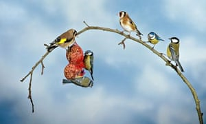 RSPB's annual Big Garden Birdwatch (BGBW) : Goldfinches and blue tits feeds in a garden