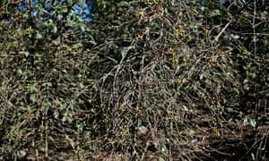 Coffee Harvest Threatened By Roya Disease or coffee rust