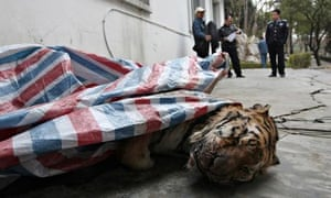dead tiger is found during a police action in Wenzhou, China