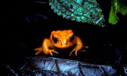 Climate change impact on wildlife : close to be extincted Golden Toad