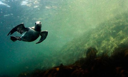 Climate change impact on wildlife : A guillemot underwater,  Farne Islands off the Northumberland