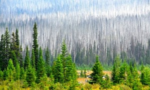 Climate change impact on wildlife :  pines killed by pine beetles near Radium Hot Springs, Canada