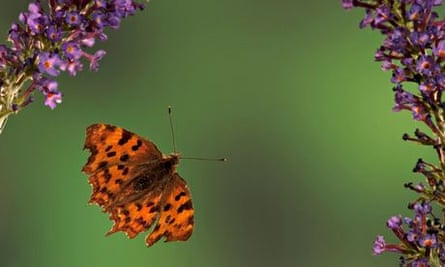 Climate change impact on wildlife : Comma Butterfly