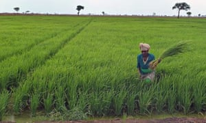 MDG : Dfid and G8 New Alliance : employee at Saudi Star rice farm working in Gambella, Ethiopia