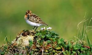 100 most endangered birds : Spoon-billed Sandpiper