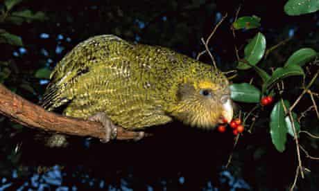 100 most endangerd birds : Kakapo