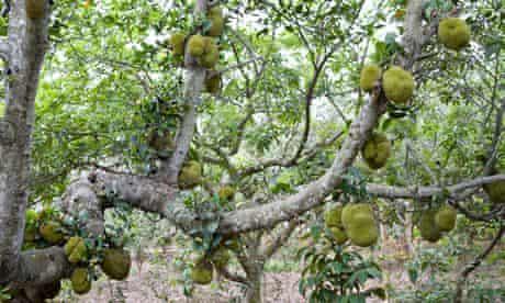 Jackfruit Tree, Artocarpus Heterophyllus, in Vietnam