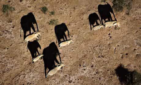 KWS monitoring elephants with drones in Kenya : Elephants casting shadows Amboseli National Park