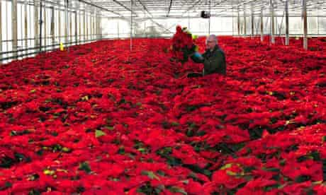 A plant health and seeds Inspector for FERA checks poinsettia plants in nursery