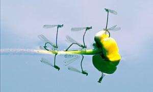 Damsleflies Mating