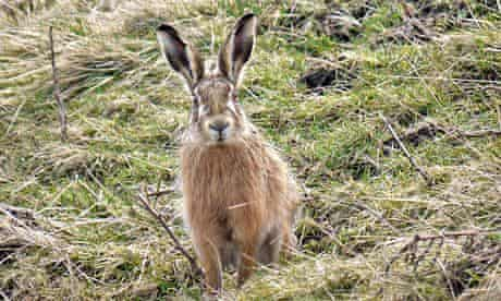 Country Diary : hare on Chapel Fell, Weardale