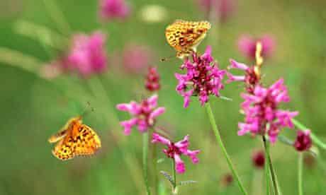 High Brown Fritillary Butterflies- Argynnis adippe