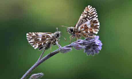 Two grizzled skipper butterflies