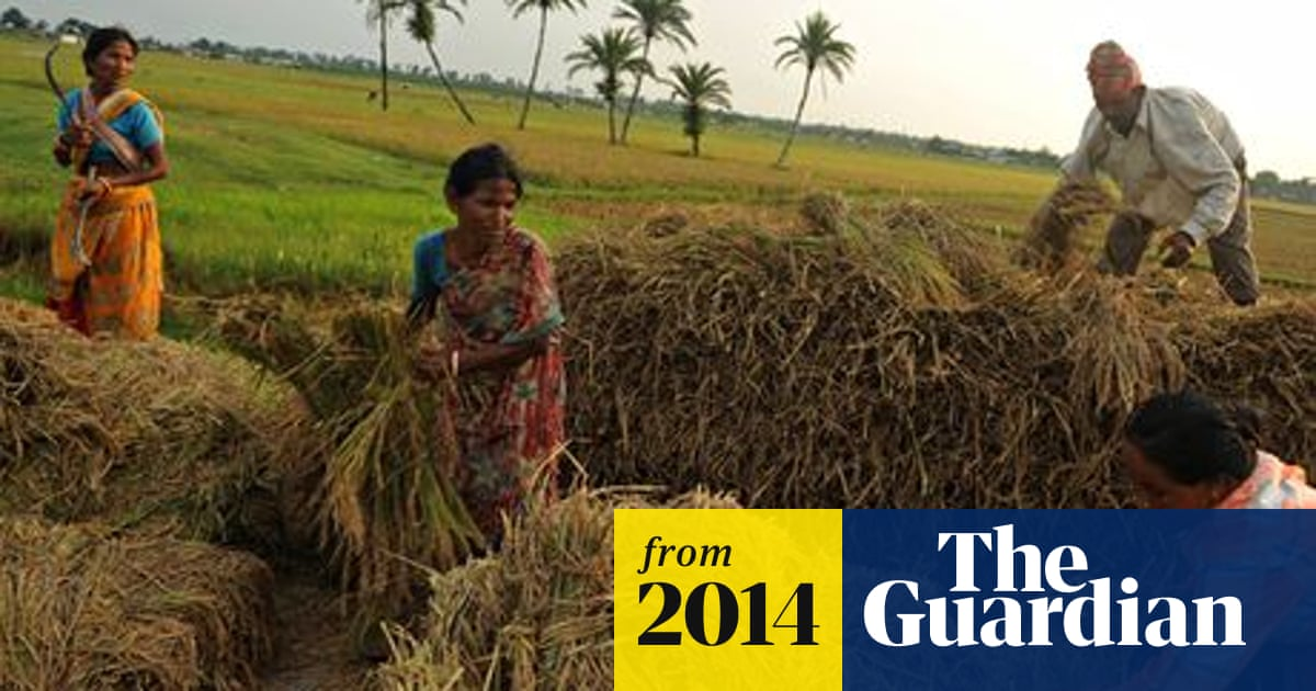 Miracle Grow Indian Rice Farmer Uses Controversial Method For Record Crop Natural Resources And Development The Guardian