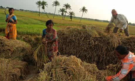 MDG : Indian farmers adopting a System of Rice Intensification (SRI)
