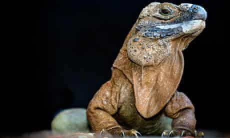 Jamaican iguana a critically endangered species in Portland Bight Protected Area, Jamaica