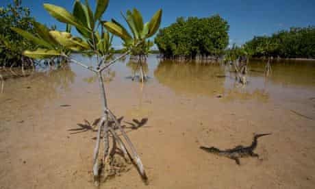 American crocodile among mangroves in a lagoon in Portland Bight Protected Area, Jamaica
