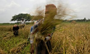 Bangladeshi farmers harvest rice in a field on the outskirts of Dhaka , Bangladesh