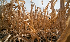 Drought affects corn production in USA