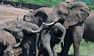 Poaching elephants number down in 2013 : Elephants help an elephant calf up a slope , Kenya