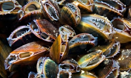Marine Conservation Zone Project,  Common or Blue Mussels