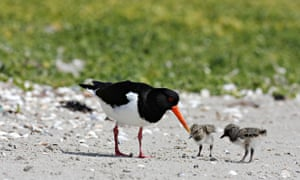 Country Diary Archive : Oystercatcher (Haematopus ostralegus), with chicks, on beach