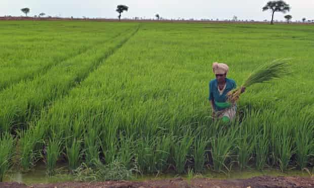 Land grabbing in Ethiopia : an employee at Saudi Star rice farm, Gambella