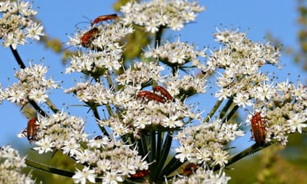 Country Diary : Soldier beetles on hogweed flowers