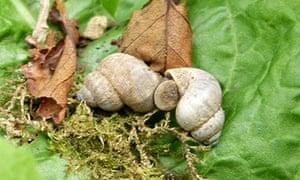 Country Diary : Pomatias elegans mating