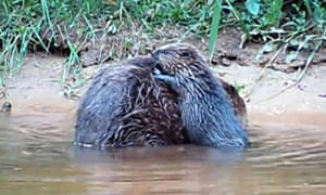 A wild beaver couple iving on the River Otter in Devon has given birth to three young