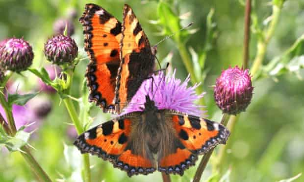 Environment Butterflies Big Butterfly Count : Small Tortoiseshell butterfly posing on a flower