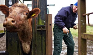 Cattle being tested for  bovine TB in rural Scotland and  government's badger policy