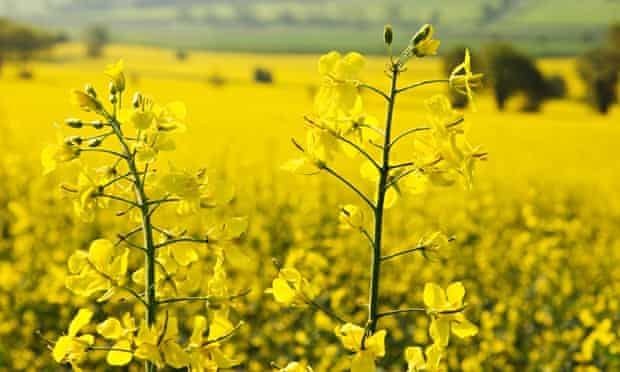 Gene crops manipulations : Canola, rape seed, field in Rother Valley, Sussex.