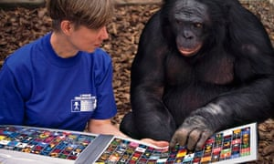Scientist works with Kanzi, a female Bonobo chimpanzee, on linguistic skills using lexigram keyboard