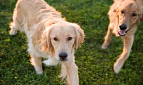 Jealous dogs : Two golden retriever dogs running in park