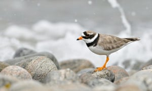 Ringed plover on a pebble beach, Isle of Barra