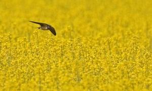 Barn Swallow  adult, in flight, hunting over flowering Oilseed Rape (