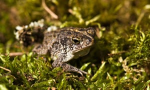 The oak toad, Anaxyrus quercicus native to coastal southeastern United States.