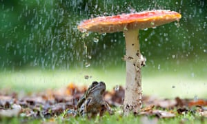 Country Diary Archive : Frog sitting under a Fly Agaric mushroom in a rain shower