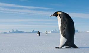 Emperor Penguin walking on ice in Prydz Bay, eastern Antarctica