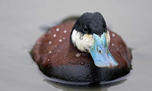 Ruddy duck Oxyura jamaicensis male swimming