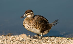 The Ruddy Duck (Oxyura jamaicensis) female in winter plumage London Wetland March