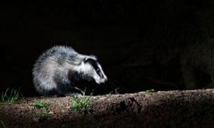 Badger, Meles meles, single mammal at set, Warwickshire, May 2014
